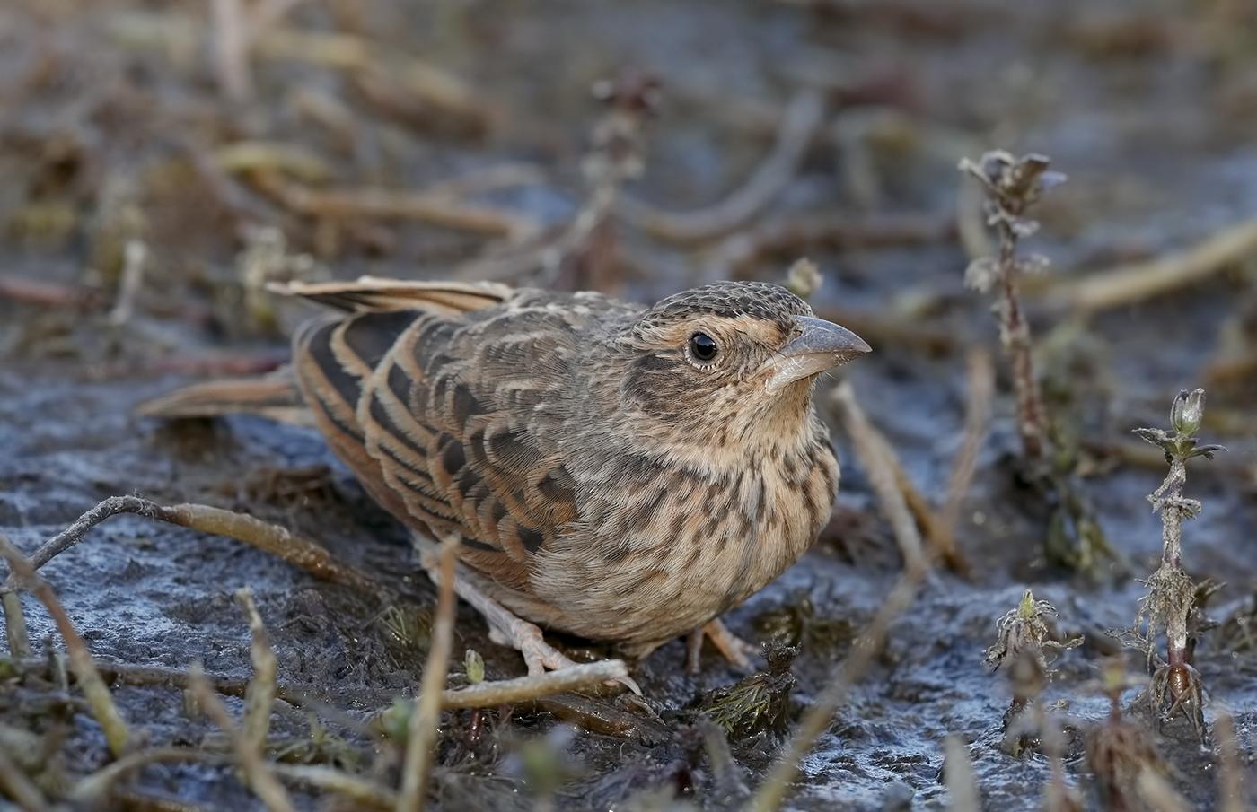 Horsfield's Bushlark (Image ID 31747)