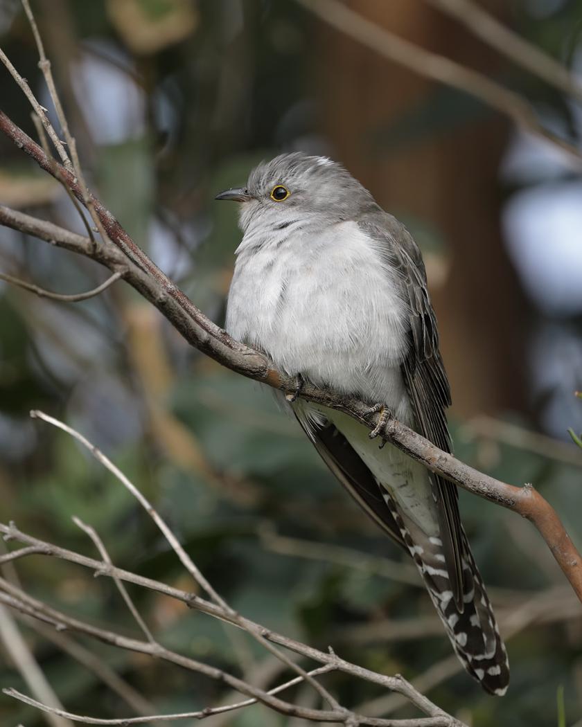Pallid Cuckoo (Image ID 31852)