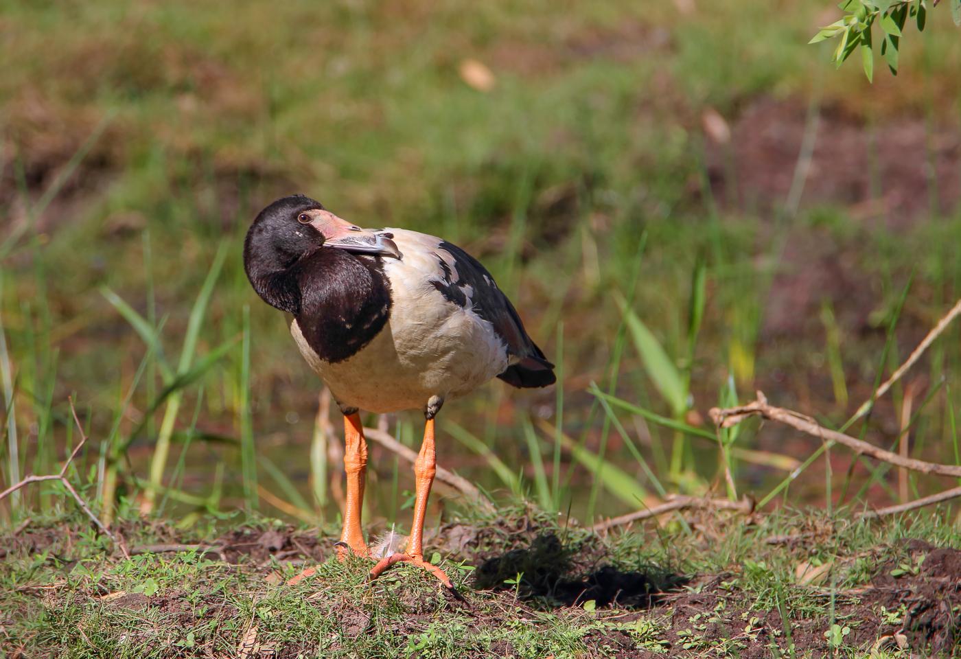 Magpie Goose (Image ID 32039)