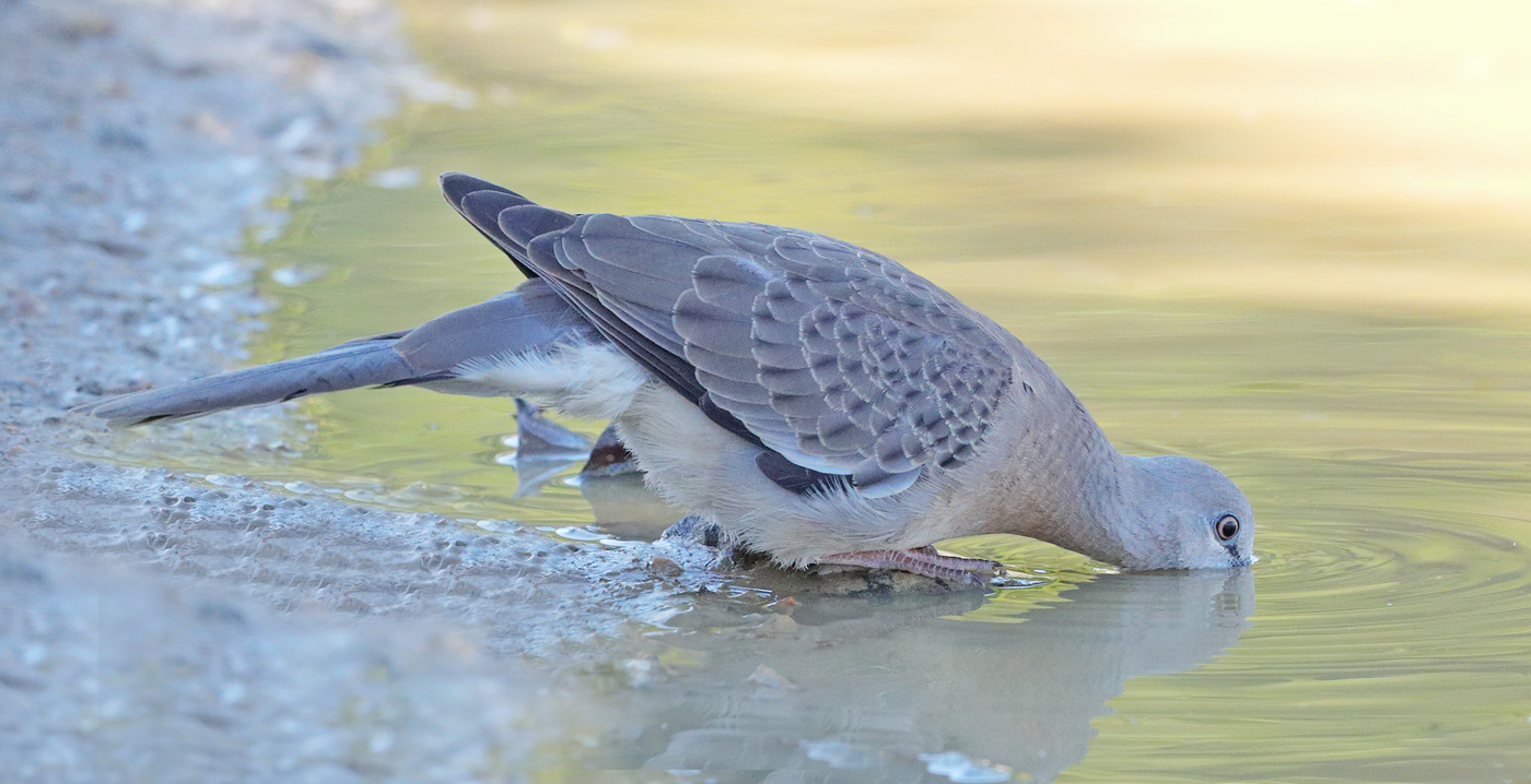 Spotted Dove (Image ID 31927)