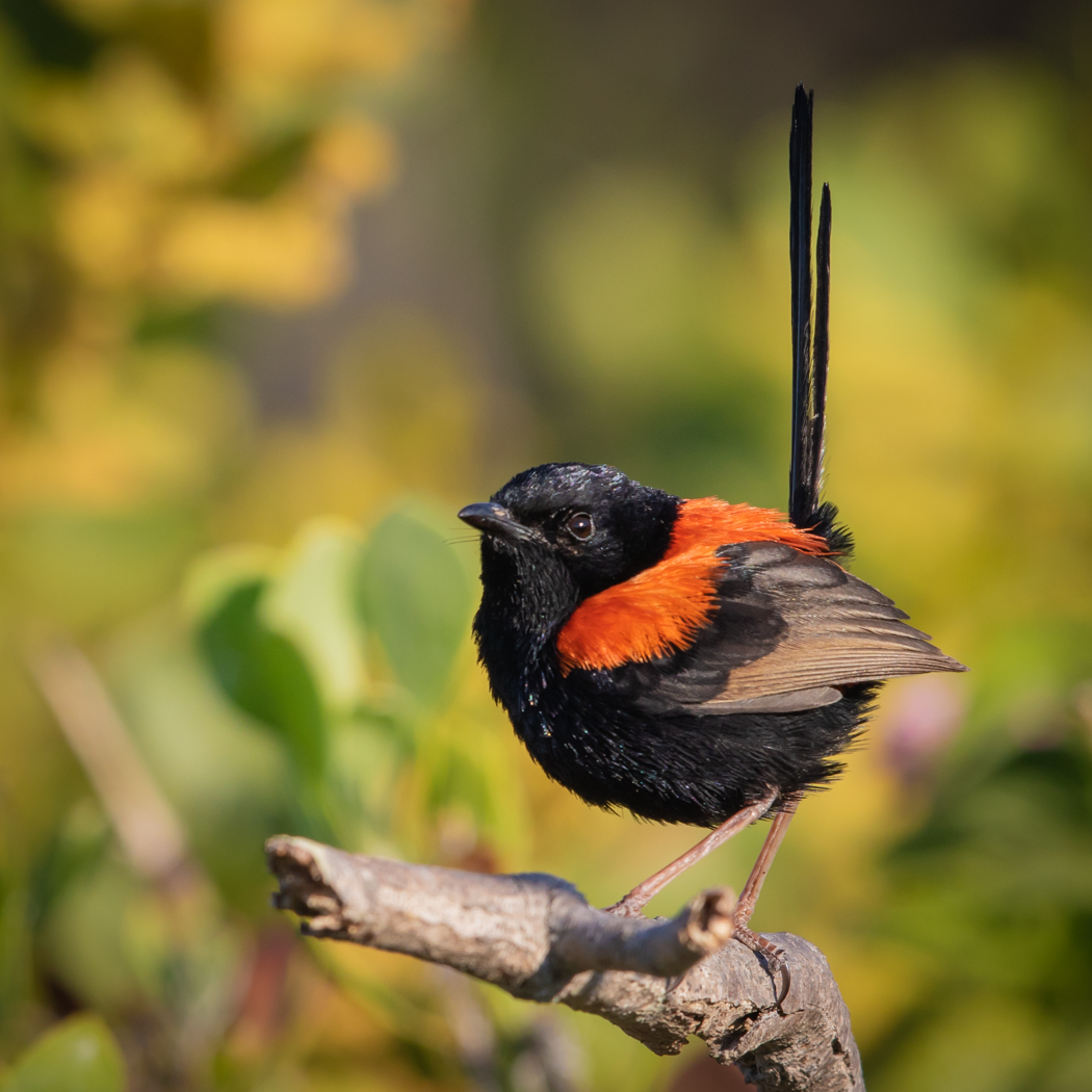 Red-backed Fairy-wren (Image ID 31707)