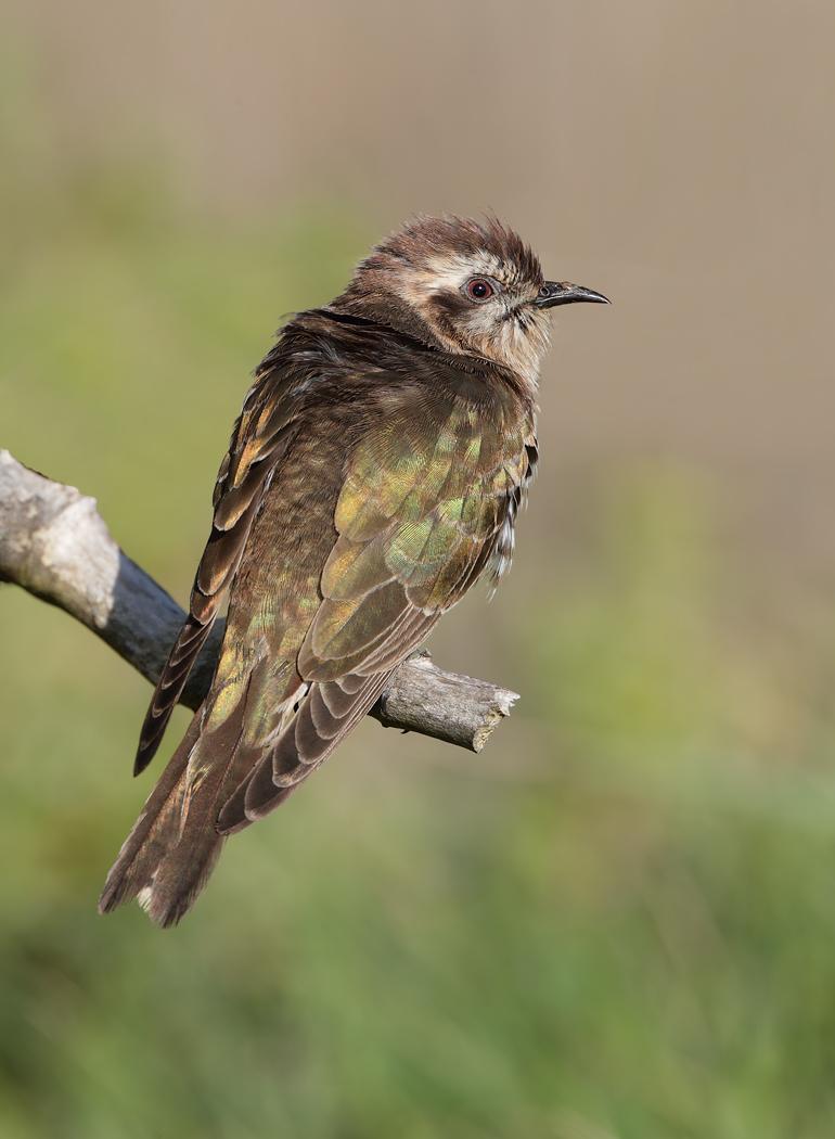 Horsfield's Bronze-Cuckoo (Image ID 31997)