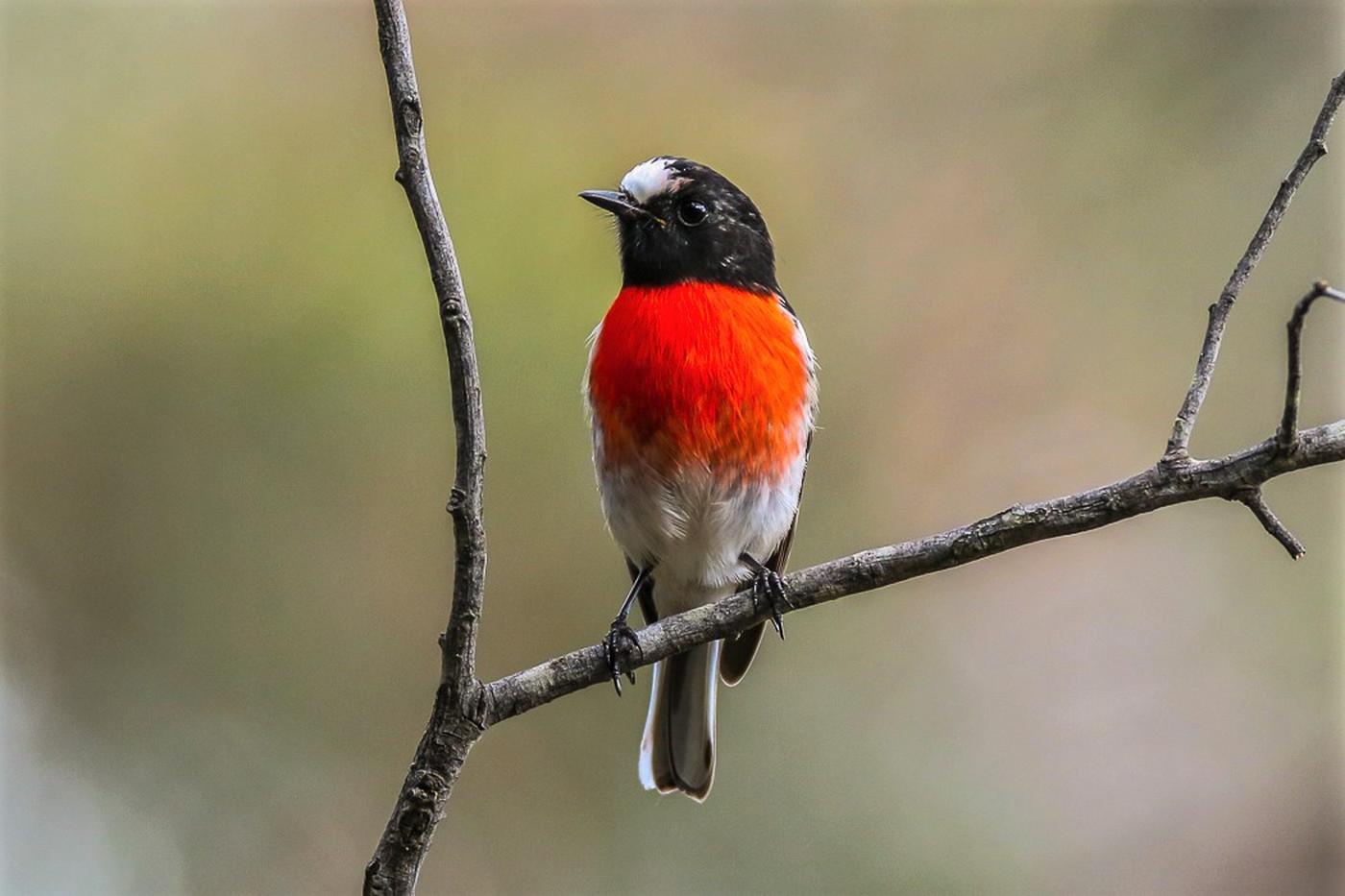 Scarlet Robin (Image ID 31941)