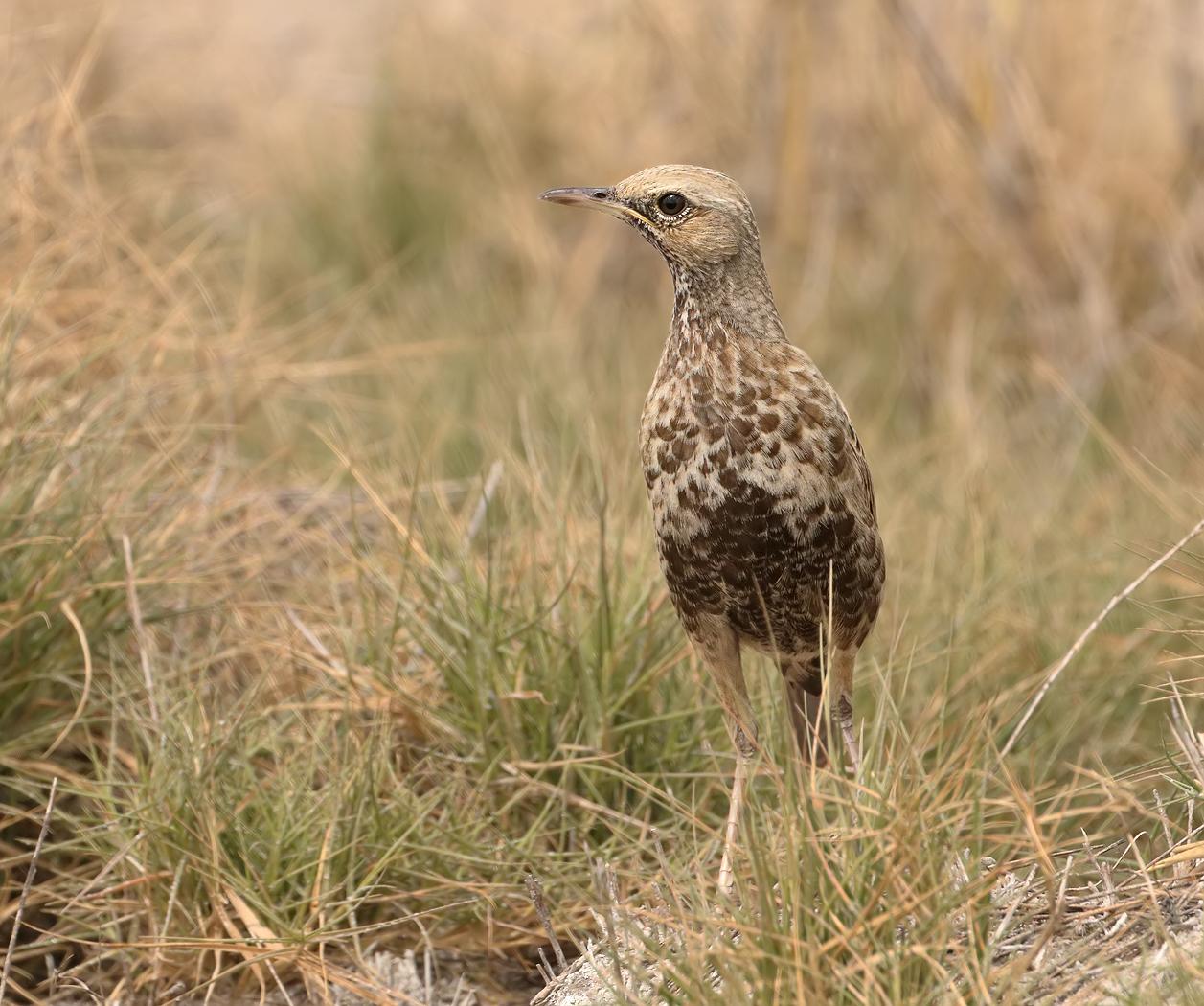 Brown Songlark (Image ID 31961)