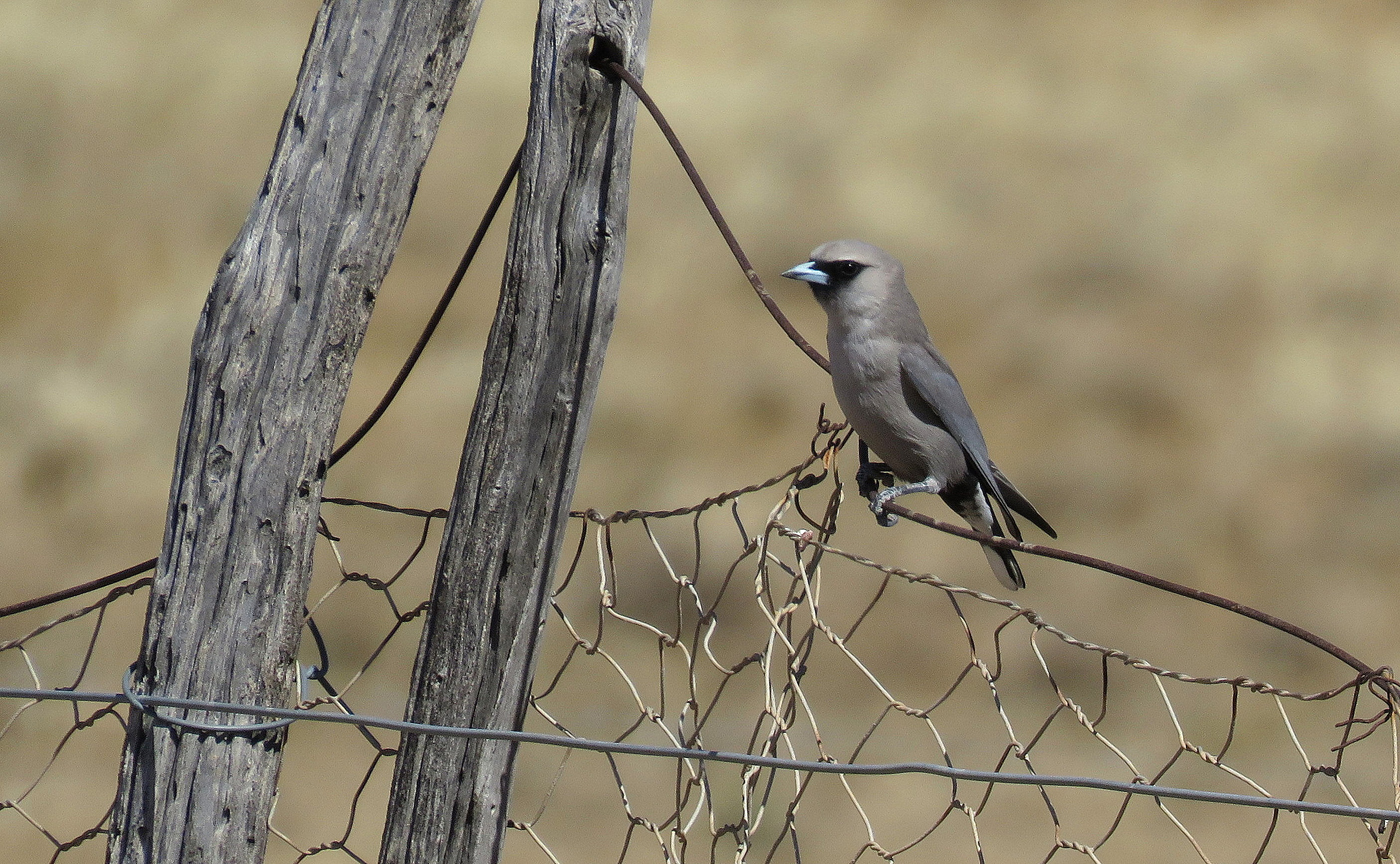 Black-faced Woodswallow (Image ID 31876)