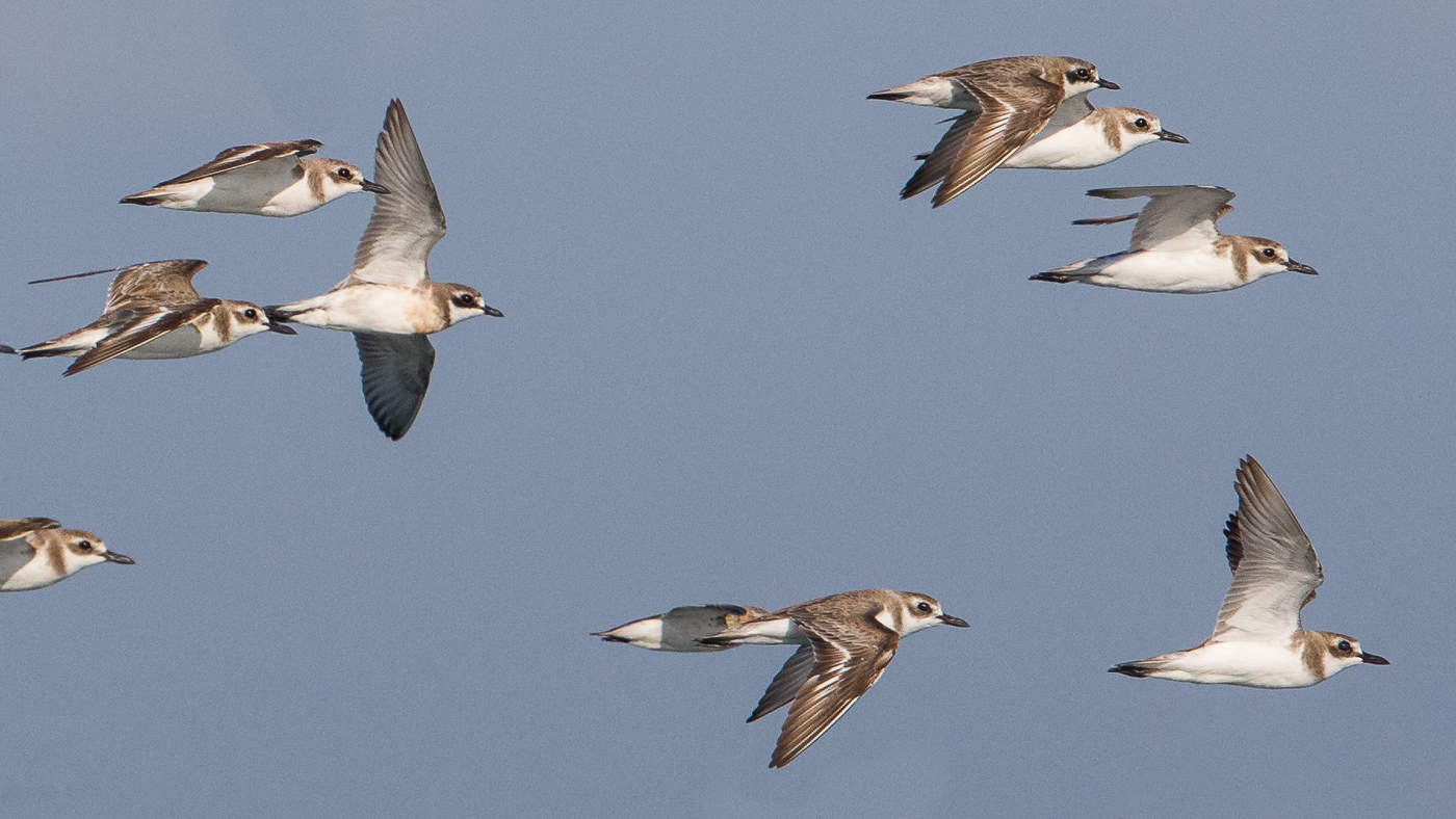Greater Sand Plover, Lesser Sand Plover (Image ID 31695)