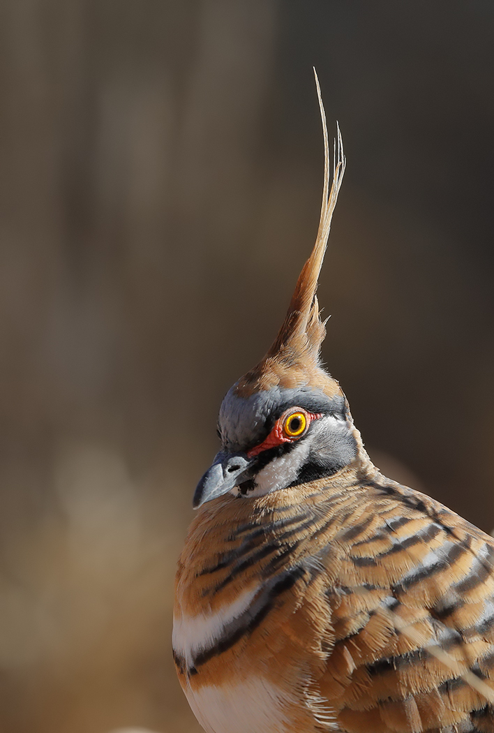 Spinifex Pigeon (Image ID 31844)