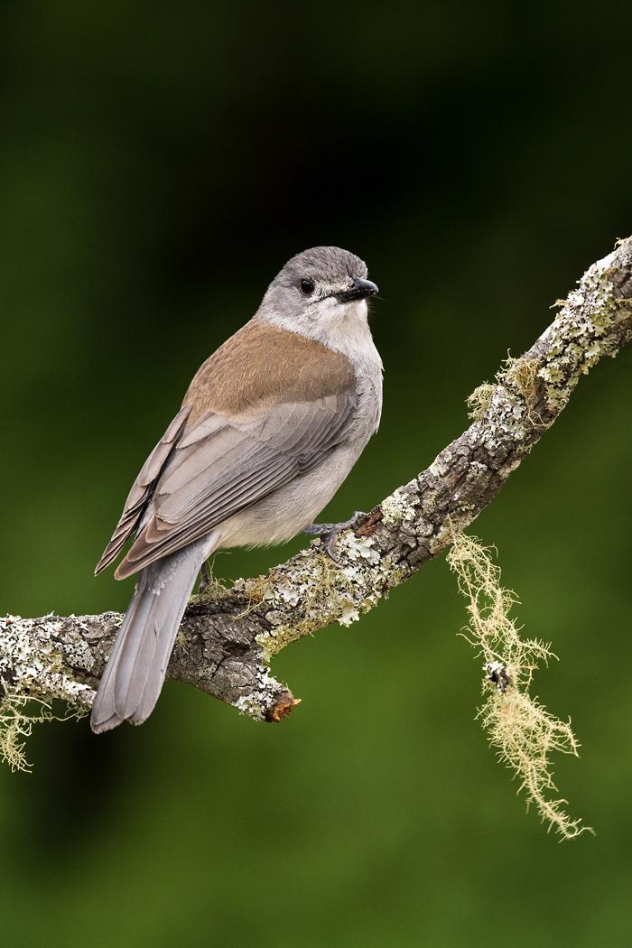 Grey Shrike-thrush (Image ID 31853)