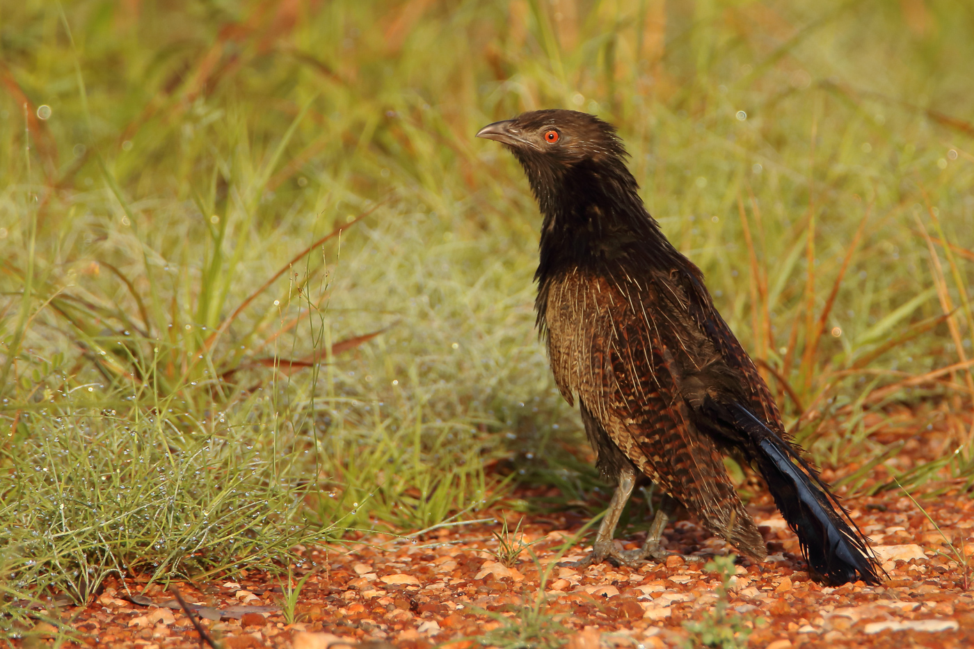Pheasant Coucal (Image ID 31996)