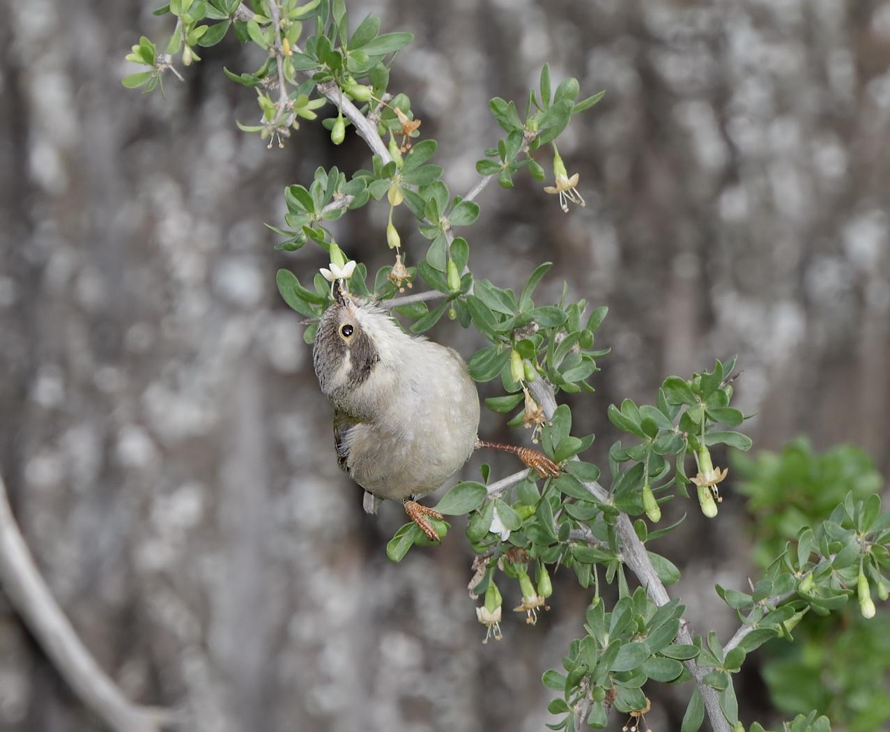Brown-headed Honeyeater