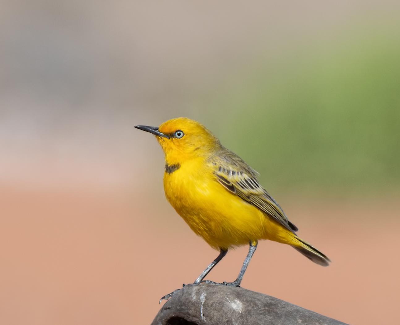 Yellow Chat (Image ID 31994)