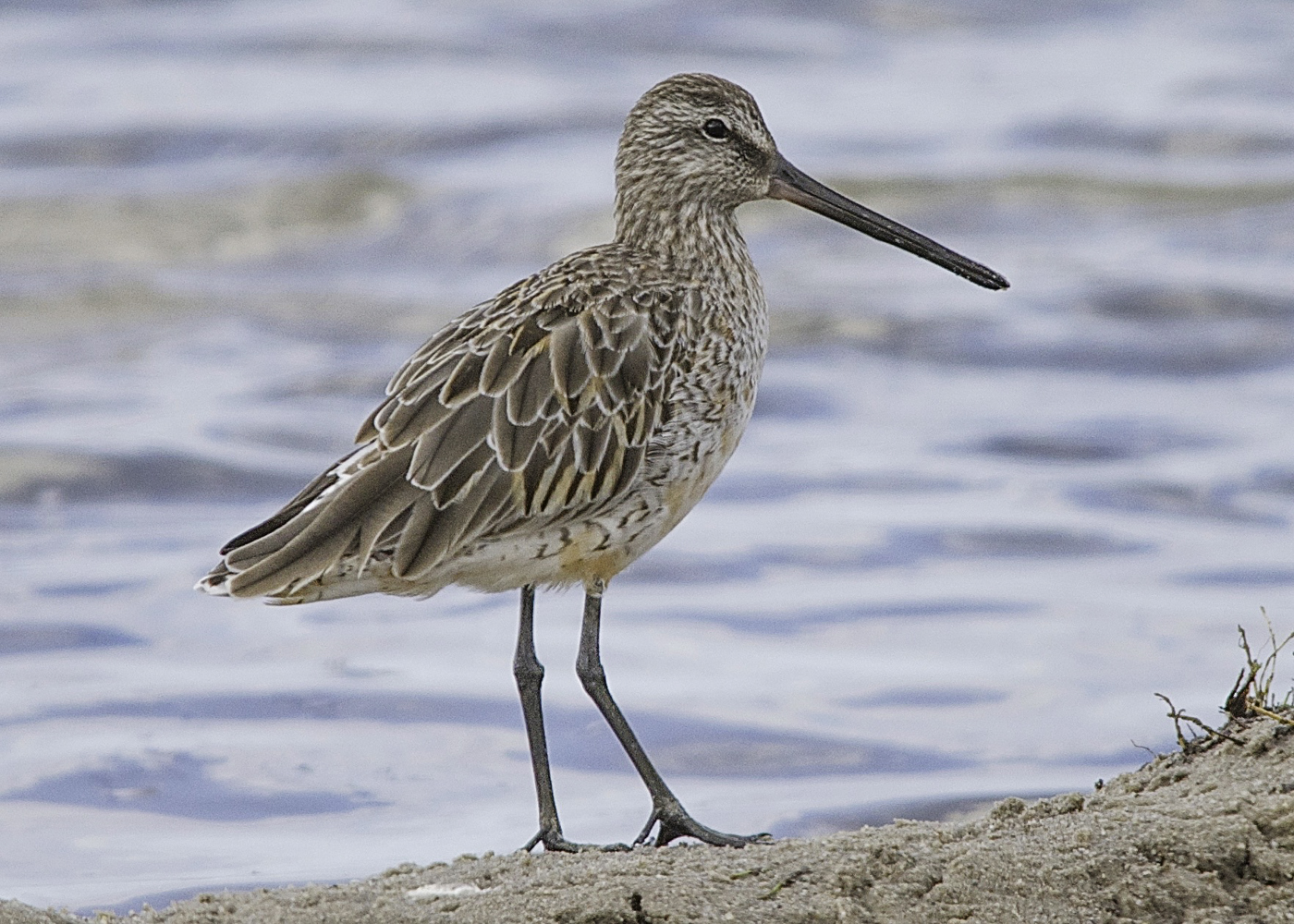 Asian Dowitcher (Image ID 32043)