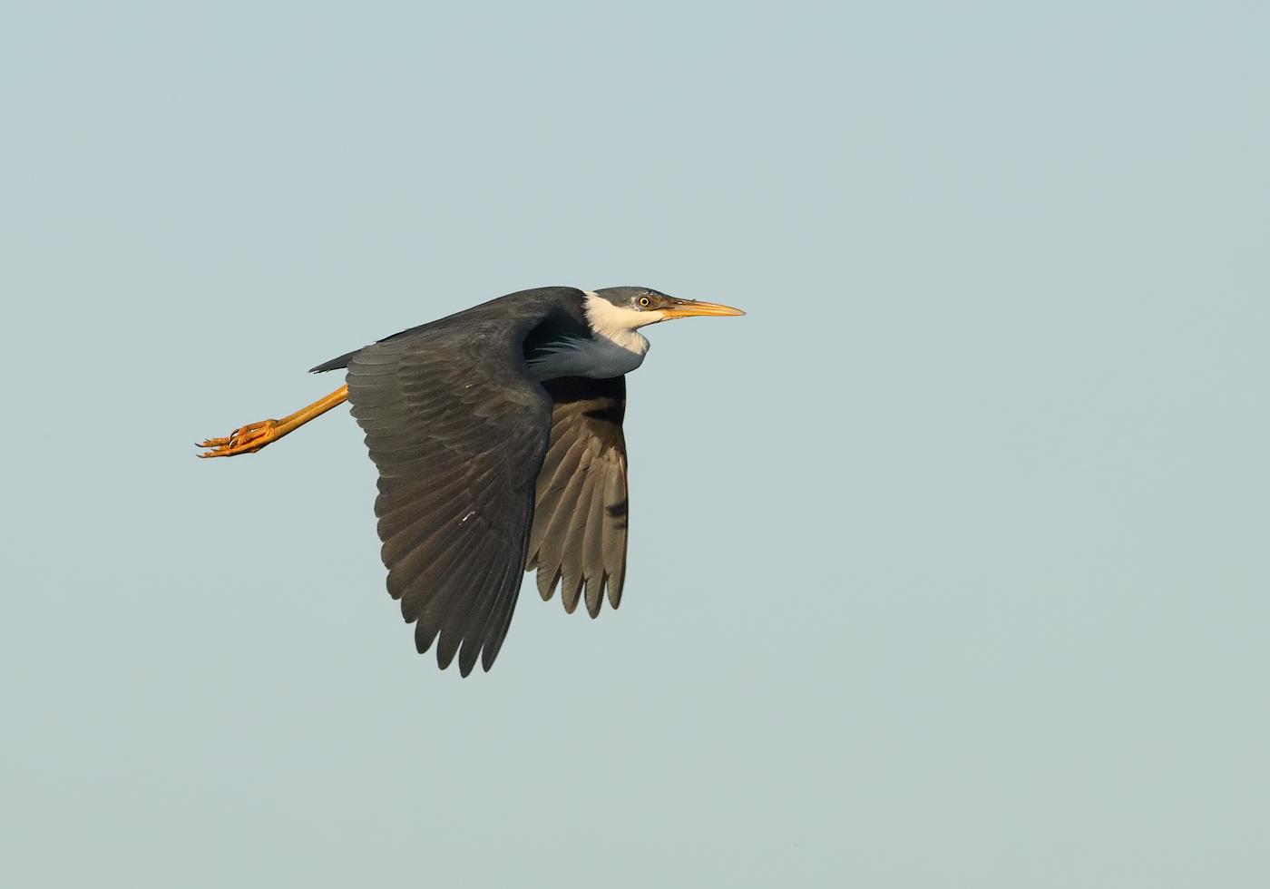 Pied Heron (Image ID 31981)