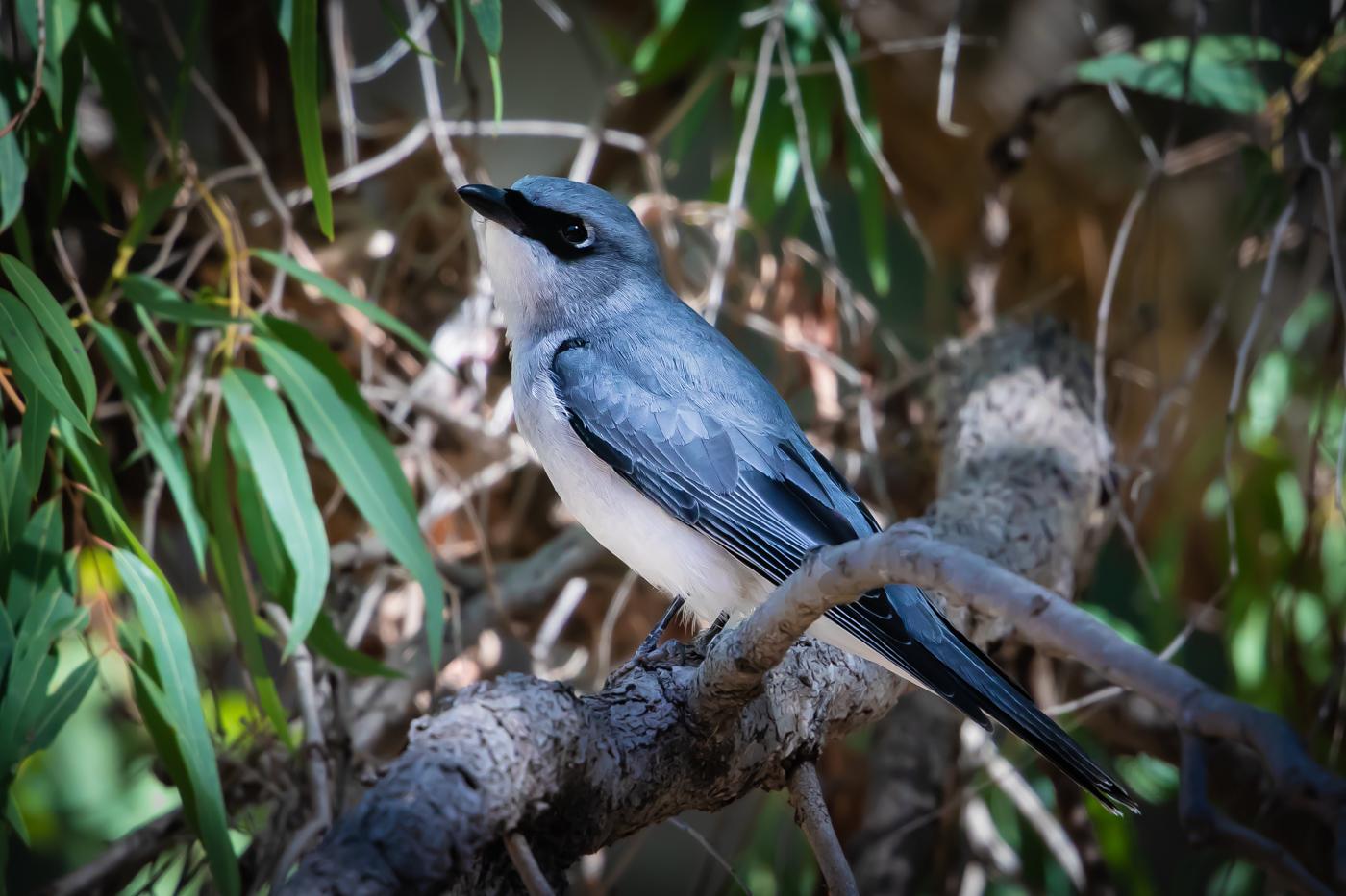 White-bellied Cuckoo-shrike (Image ID 31774)
