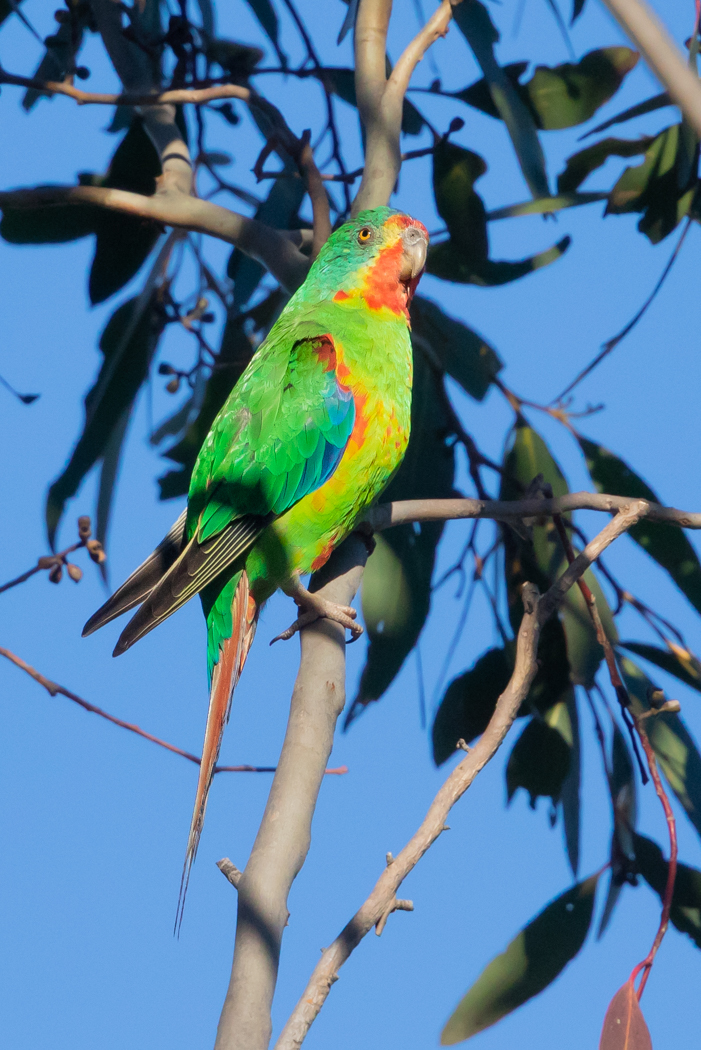 Swift Parrot (Image ID 31706)