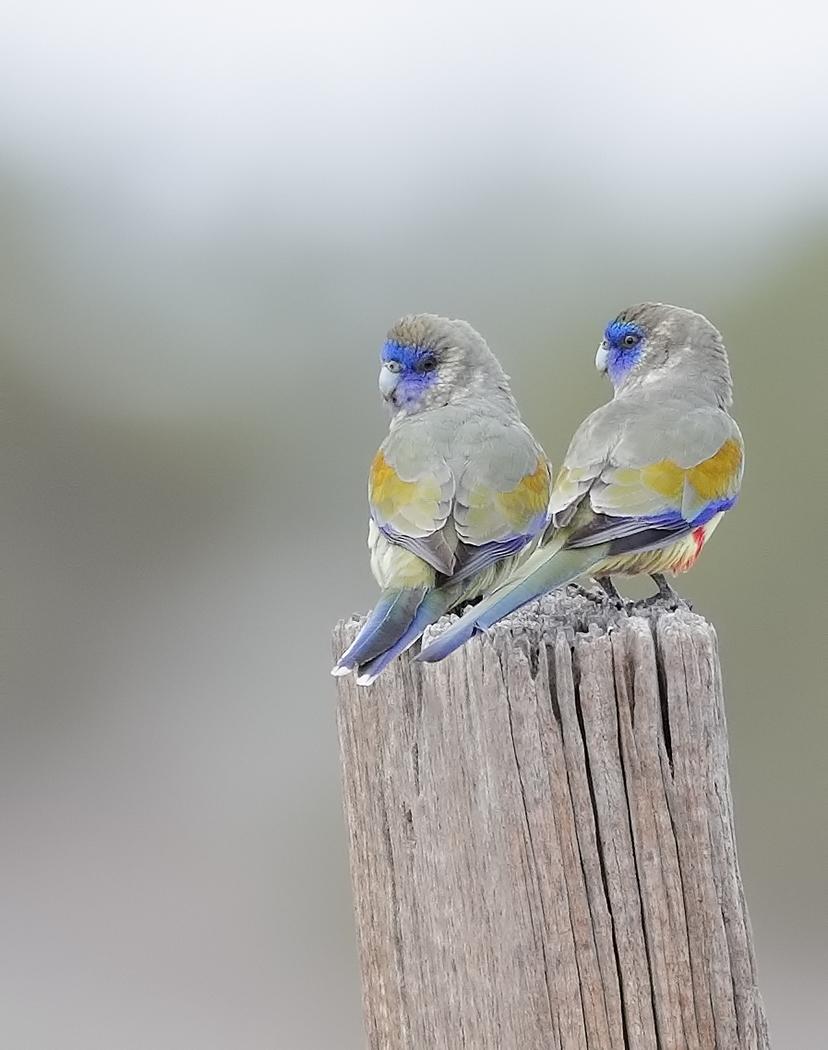 Blue Bonnet (Image ID 31846)