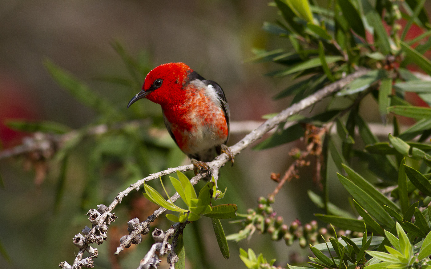 Scarlet Honeyeater (Image ID 31808)