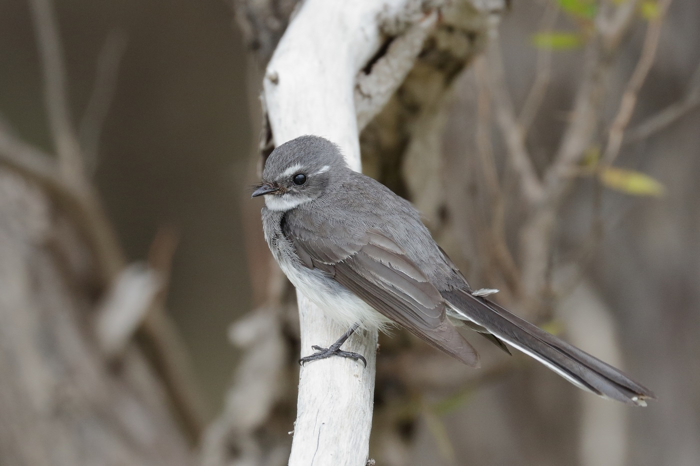 Grey Fantail (Image ID 32020)