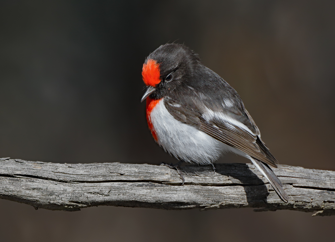 Red-capped Robin (Image ID 31937)