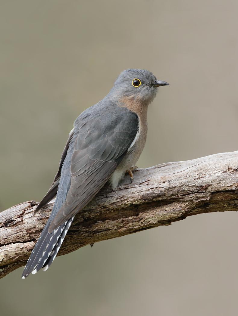 Fan-tailed Cuckoo (Image ID 31837)