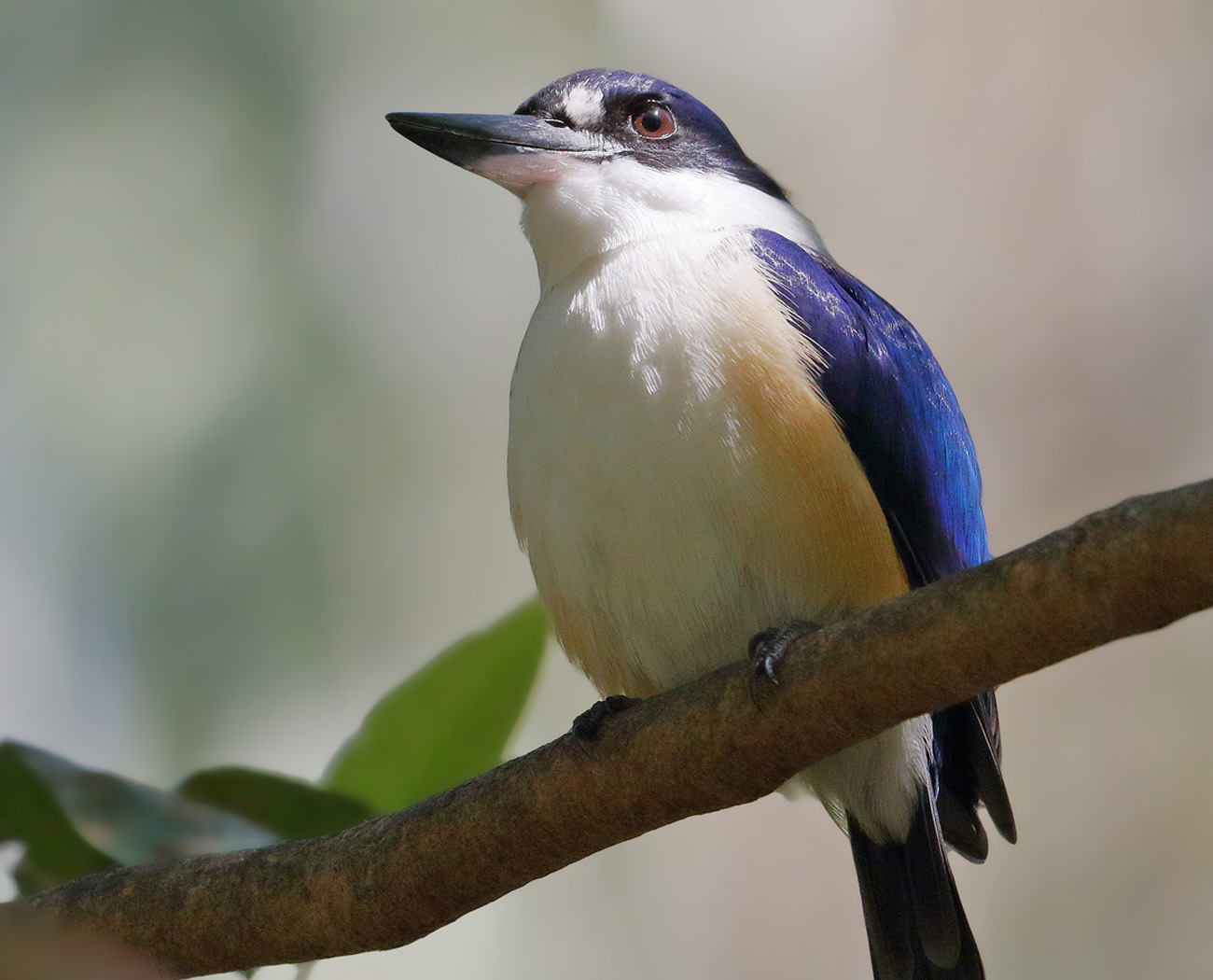 Forest Kingfisher (Image ID 31958)