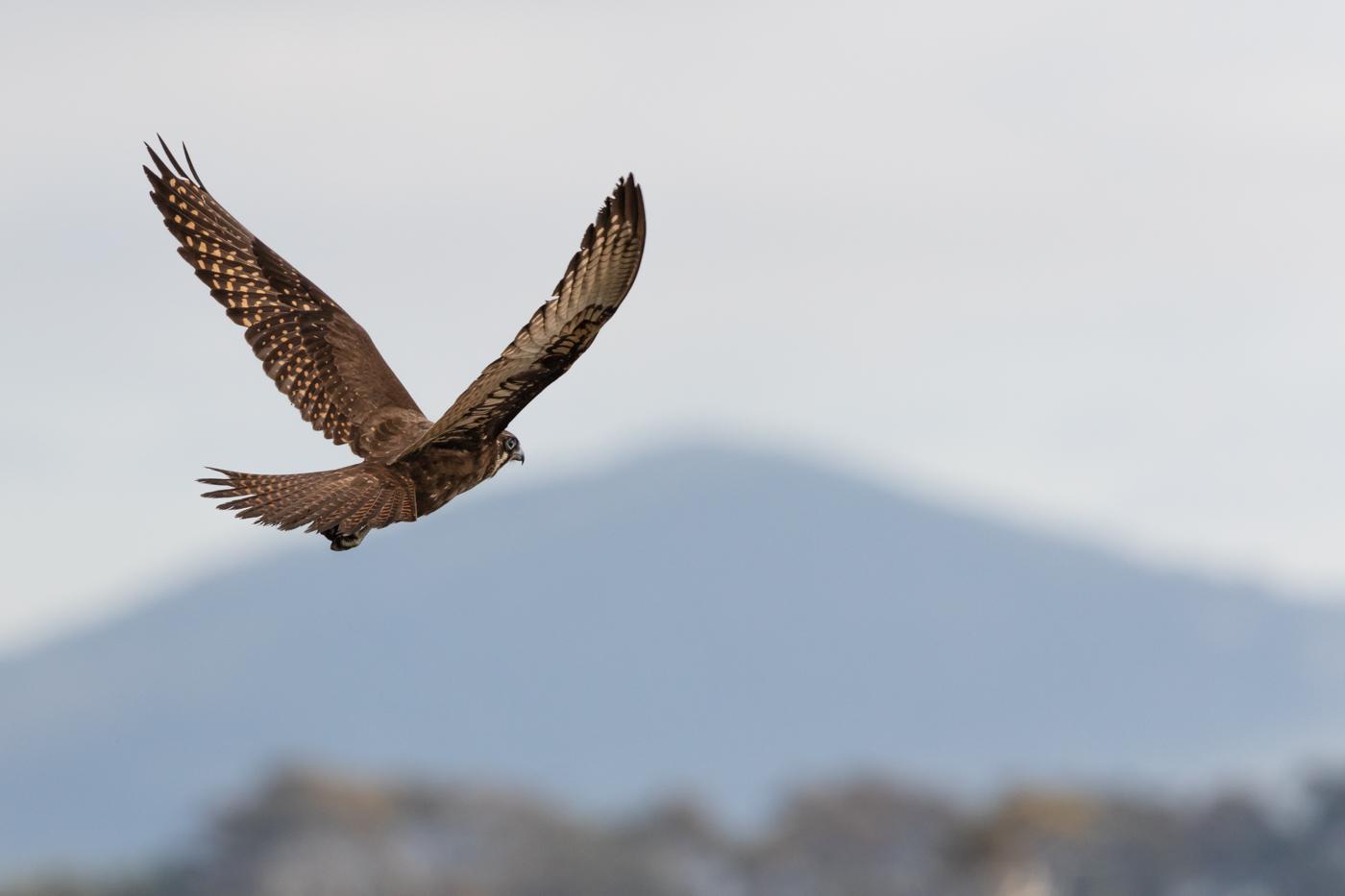 Brown Falcon (Image ID 31717)