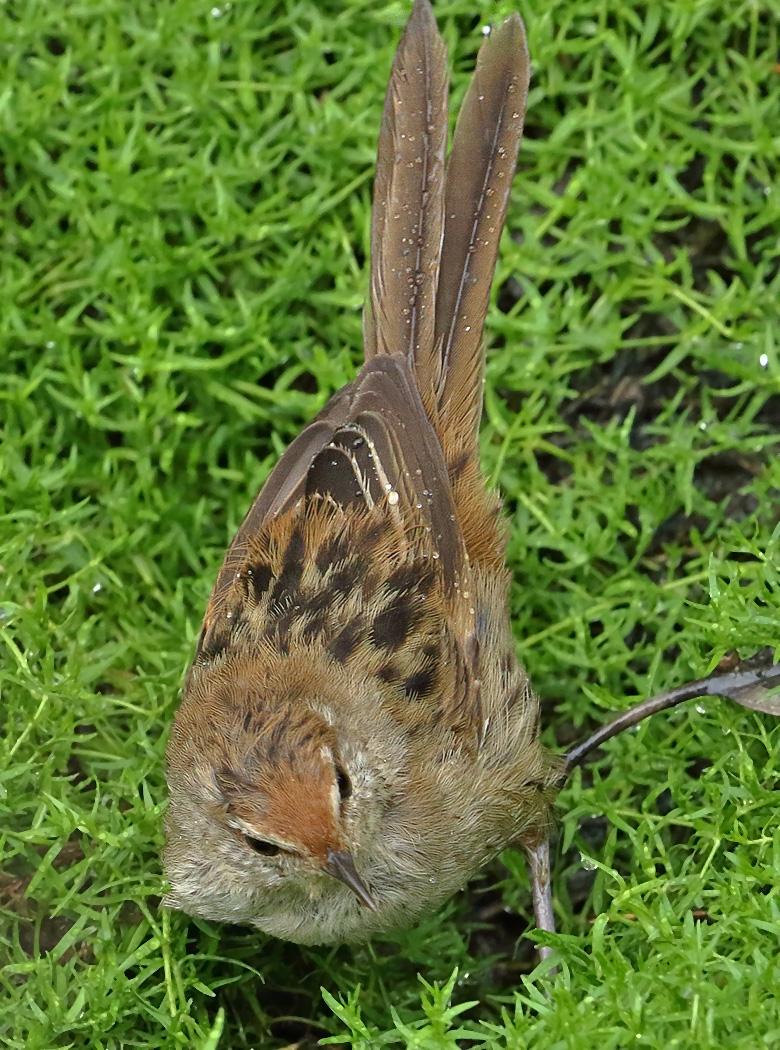 Little Grassbird (Image ID 31801)
