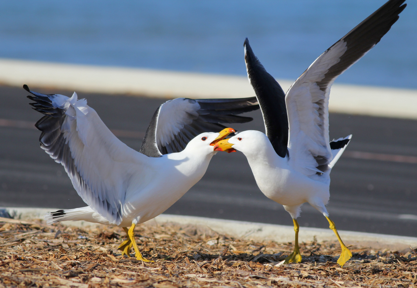 Pacific Gull (Image ID 31773)