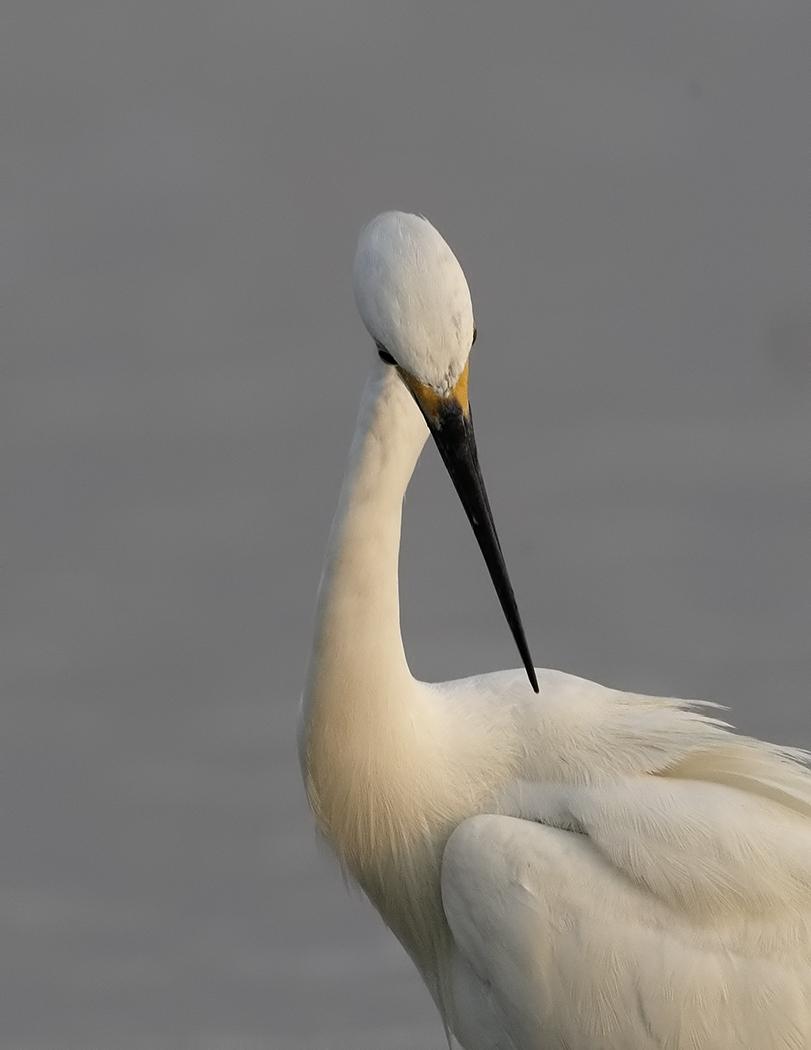 Little Egret (Image ID 31768)
