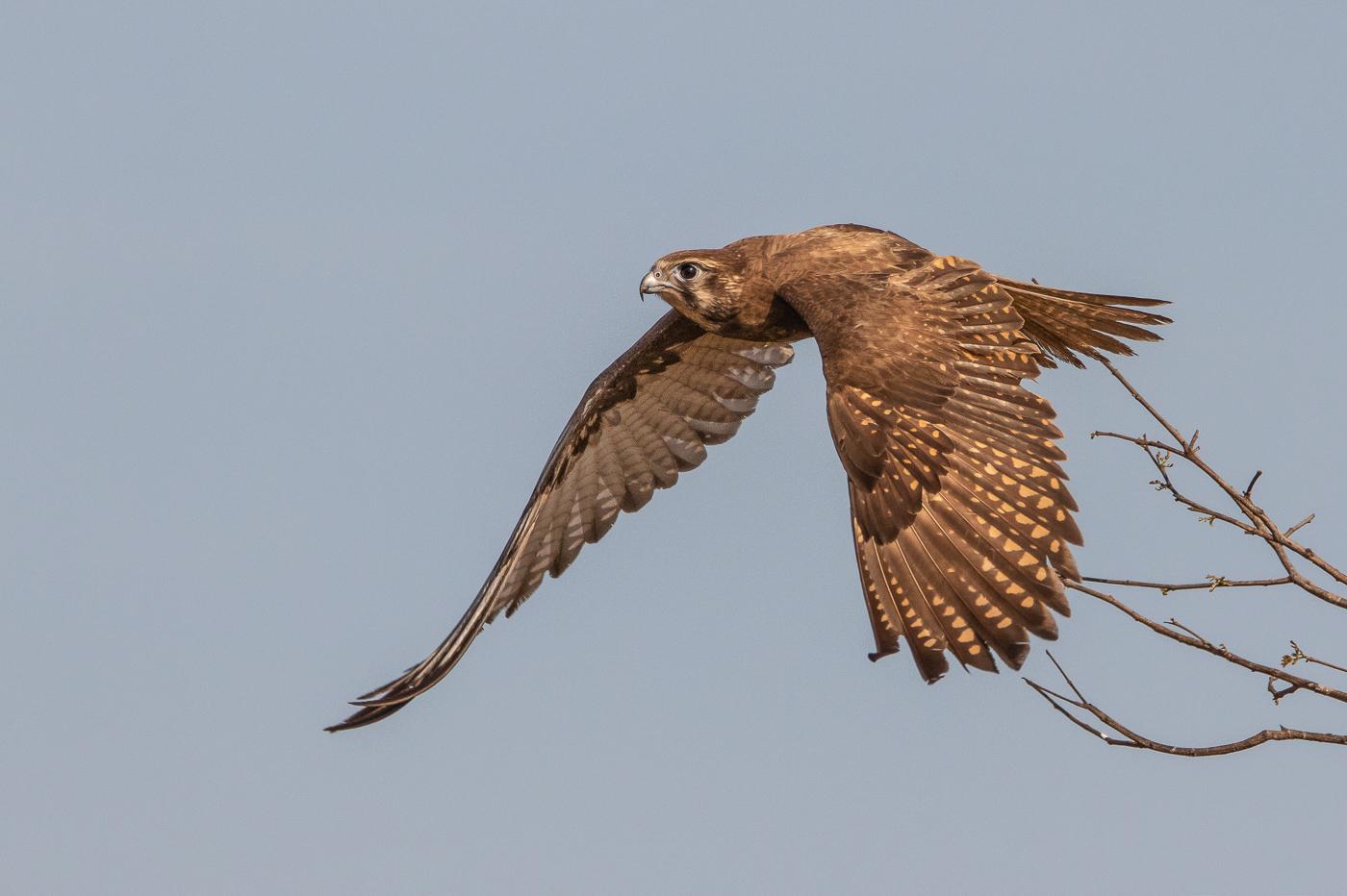 Brown Falcon (Image ID 31725)