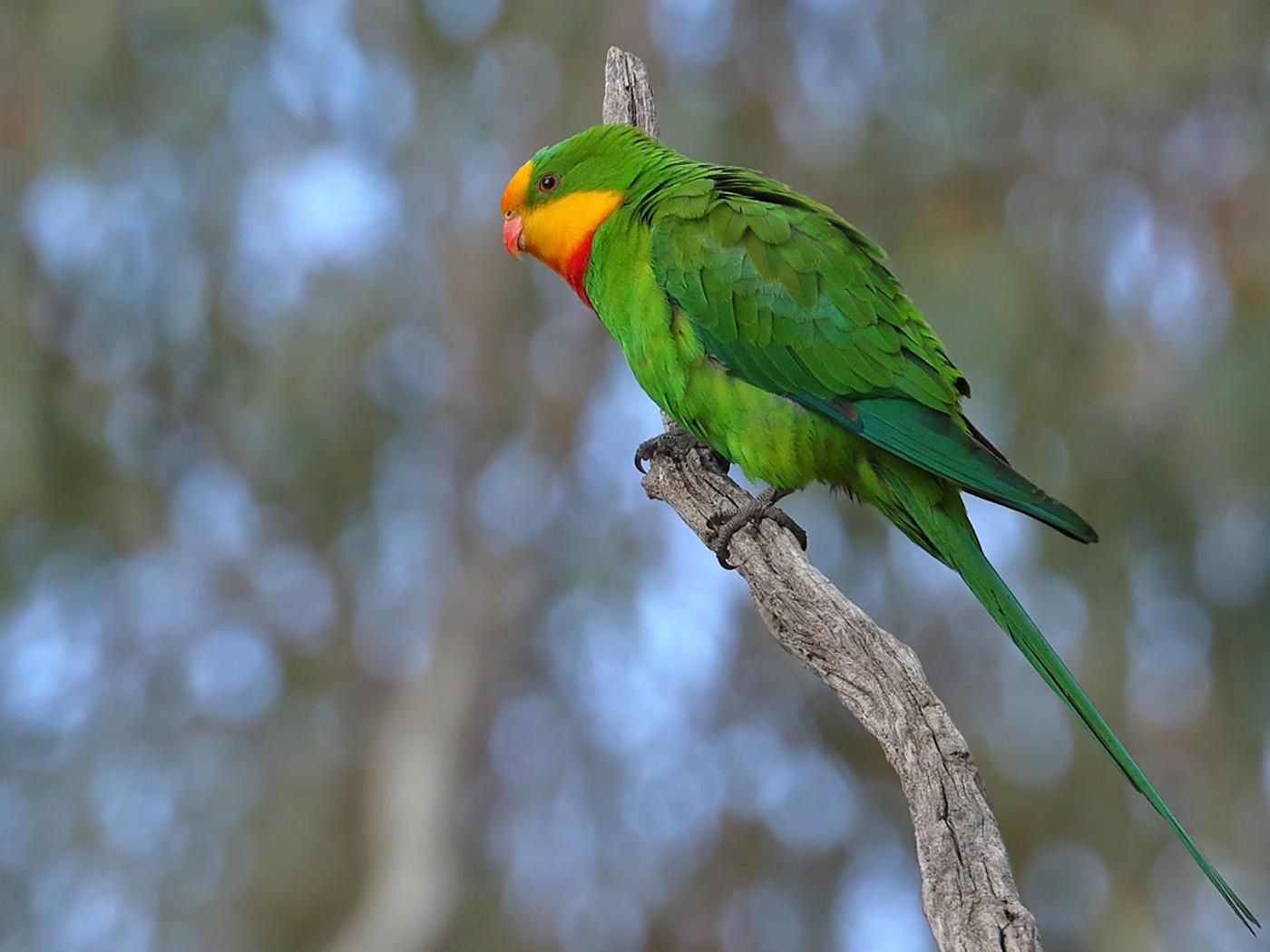 Superb Parrot (Image ID 31799)