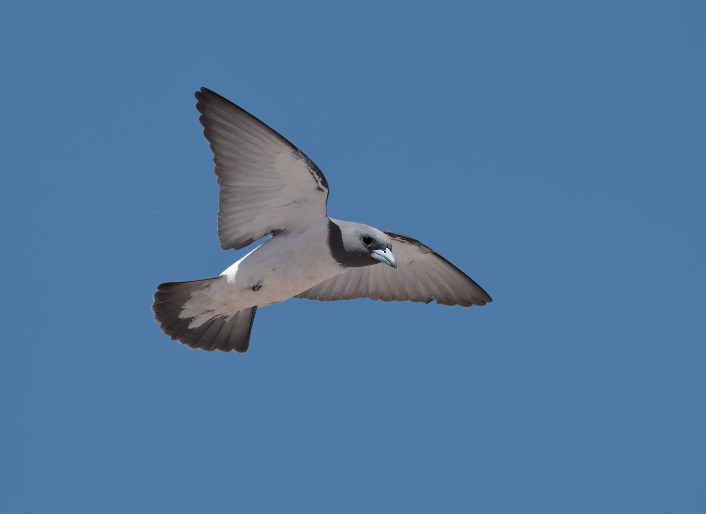 White-breasted Woodswallow (Image ID 31904)