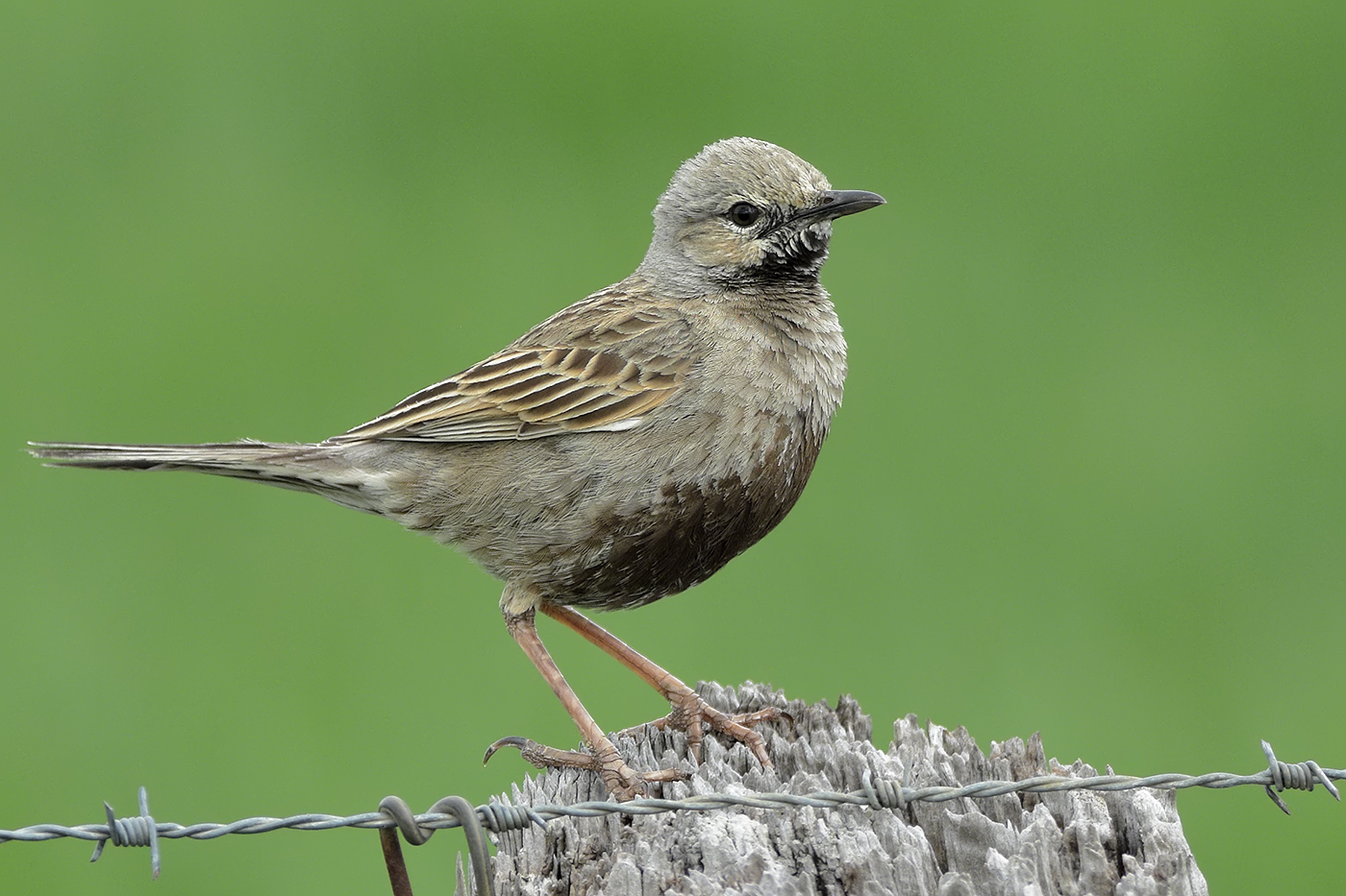 Brown Songlark (Image ID 31973)