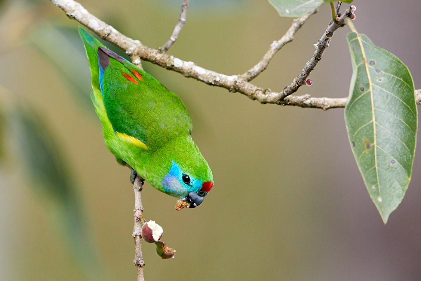 Double-eyed Fig-Parrot (Image ID 31794)