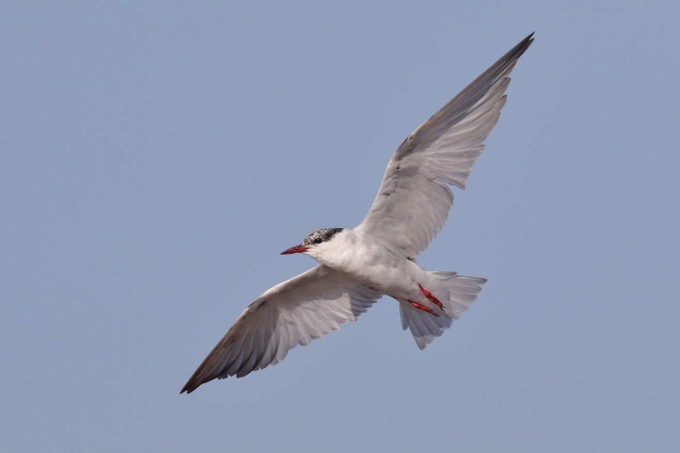 Whiskered Tern (Image ID 32021)