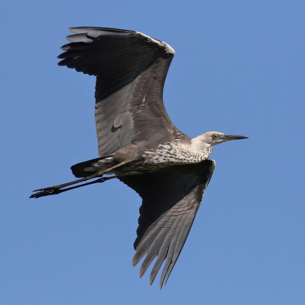 White-necked Heron (Image ID 31823)