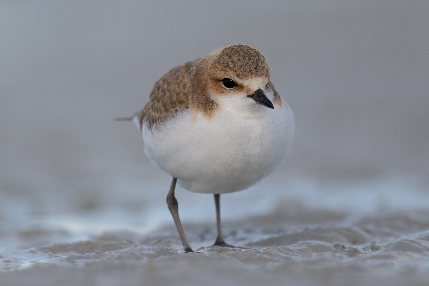 Red-capped Plover (Image ID 31992)
