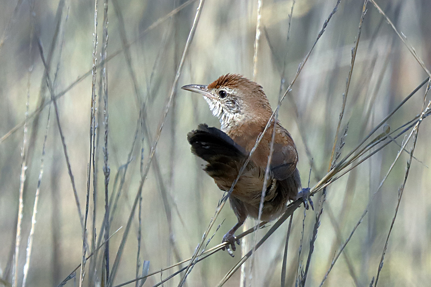 Spinifexbird