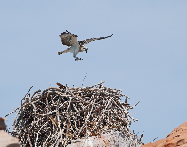 Osprey (Image ID 31839)