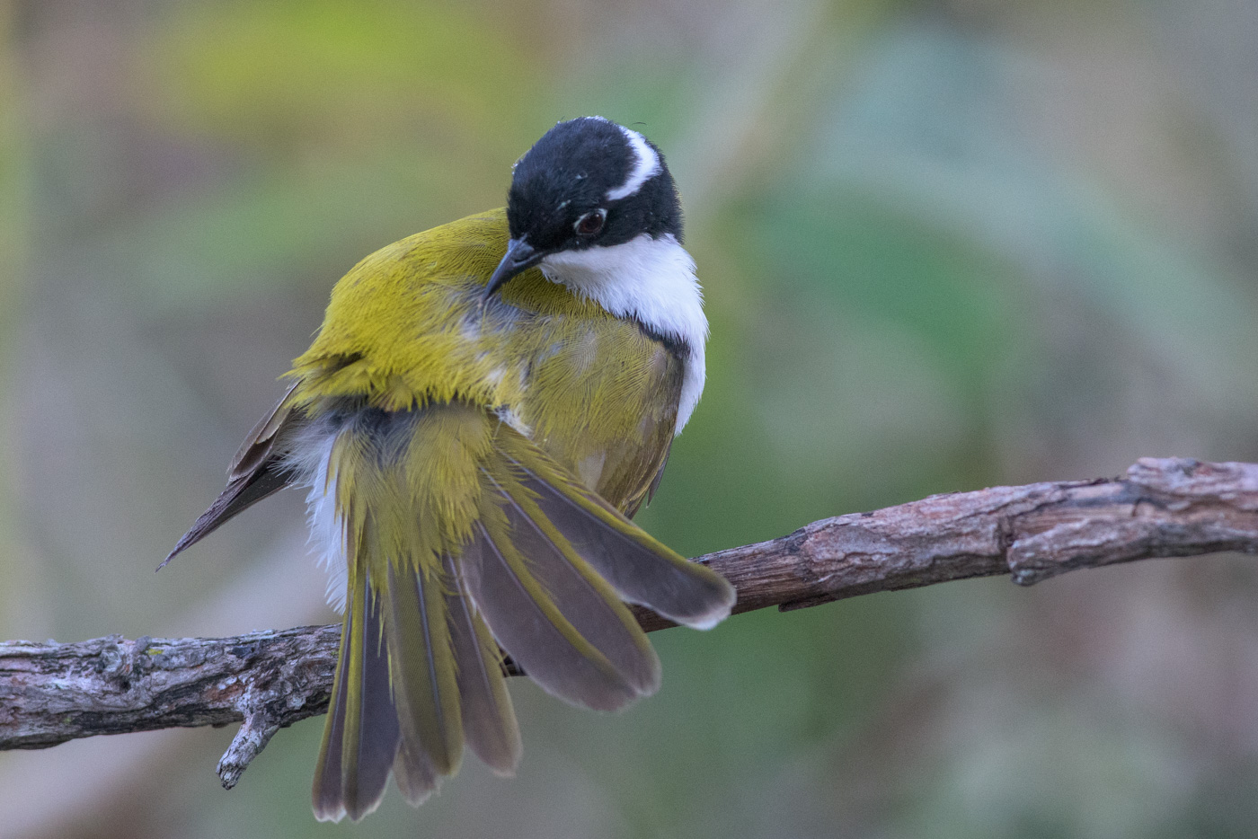 Strong-billed Honeyeater (Image ID 31689)