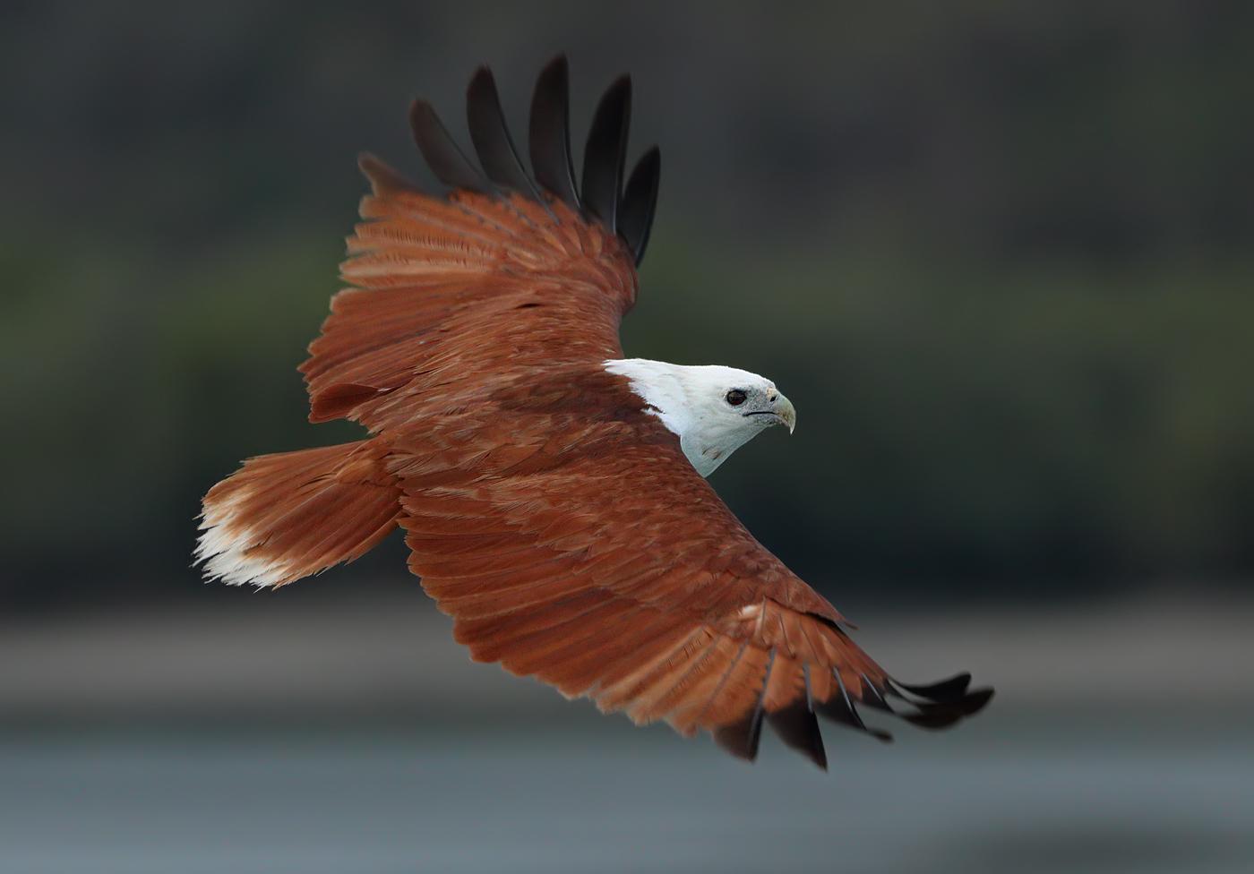 Brahminy Kite (Image ID 31827)