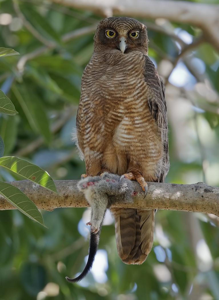 Rufous Owl (Image ID 31769)