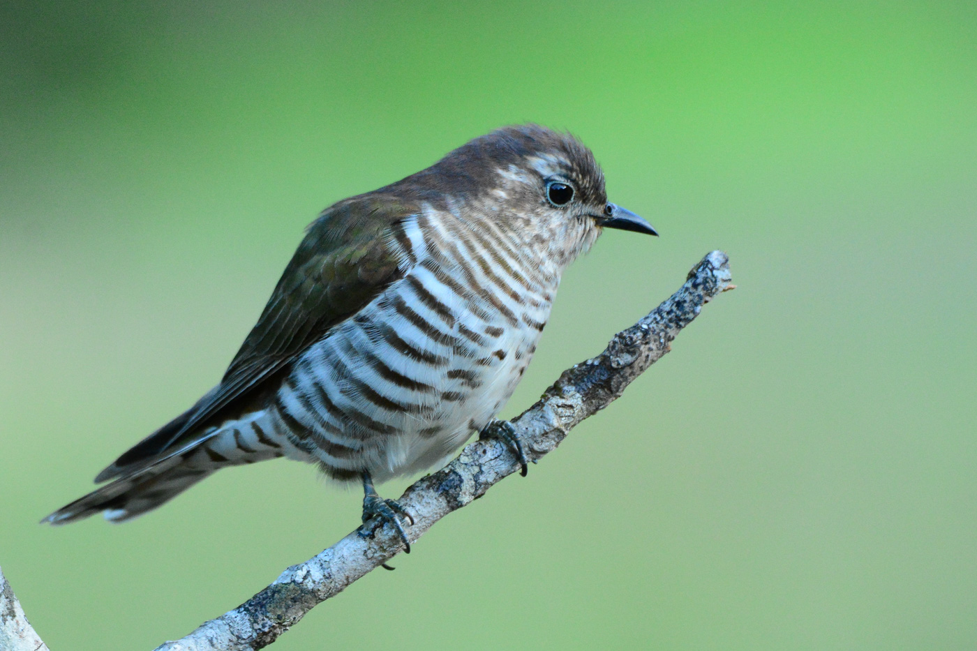 Shining Bronze-Cuckoo (Image ID 31702)