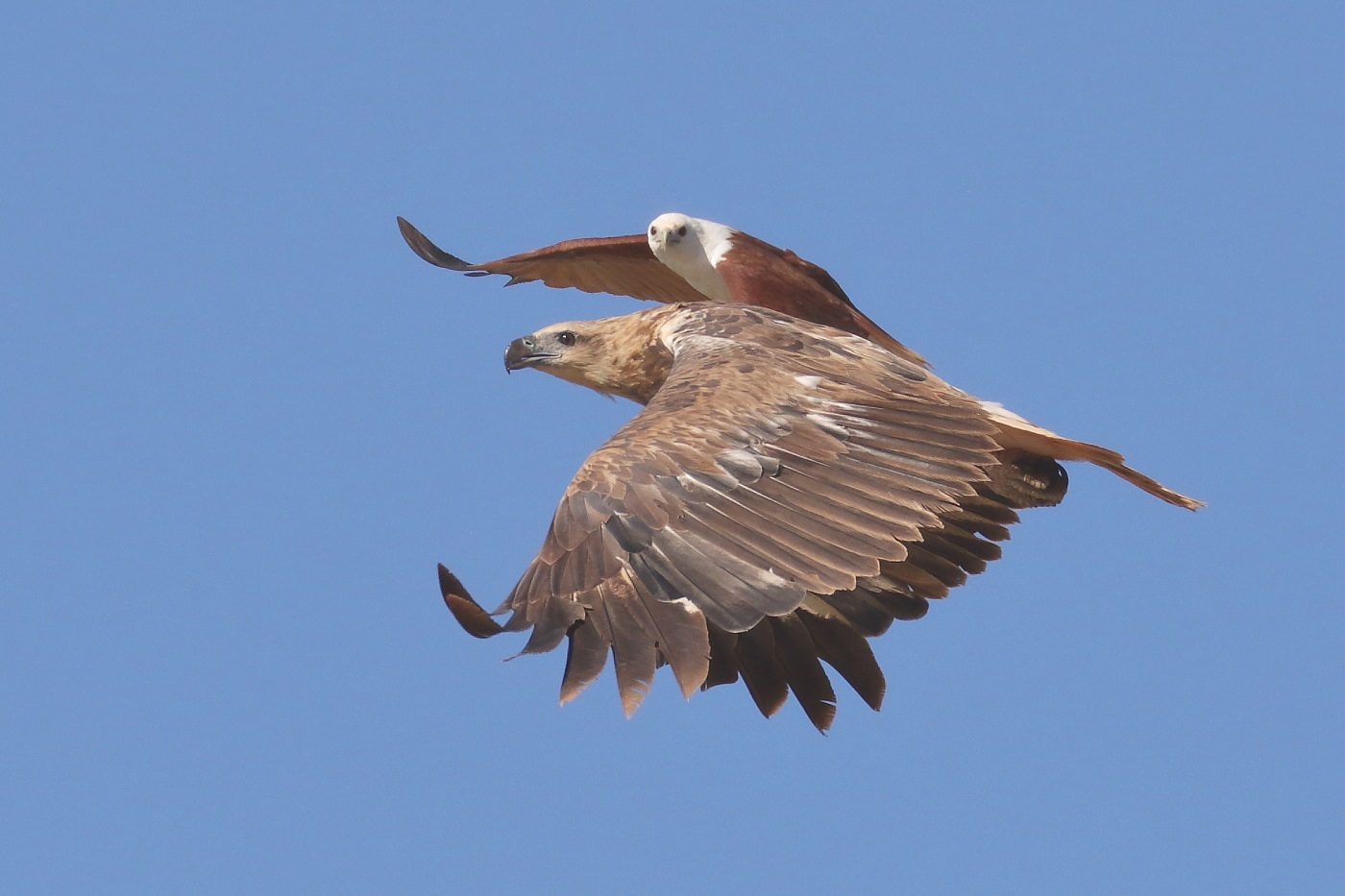 Brahminy Kite, White-bellied Sea-Eagle (Image ID 31966)