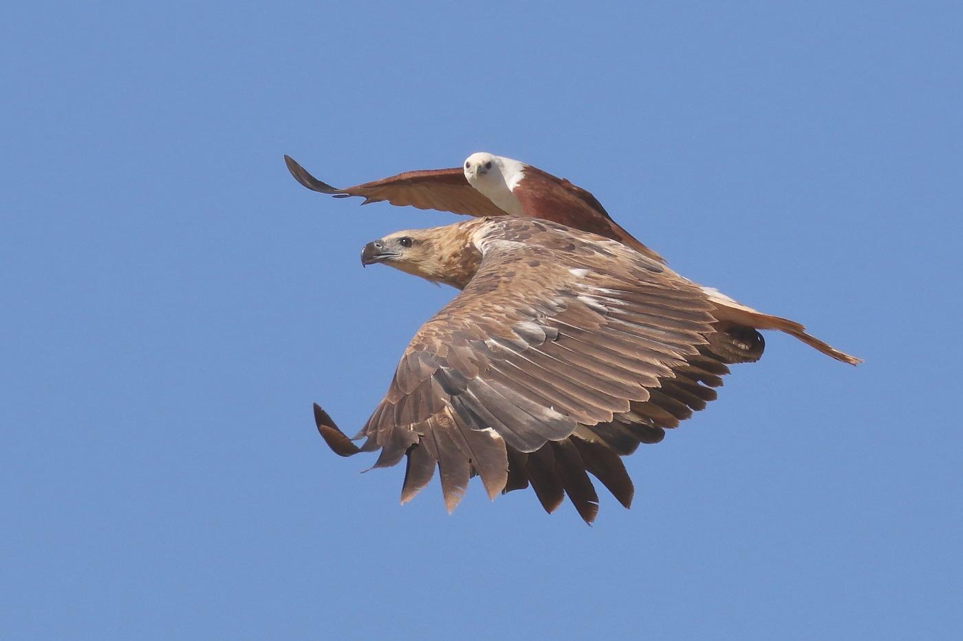 Brahminy Kite, White-bellied Sea-Eagle