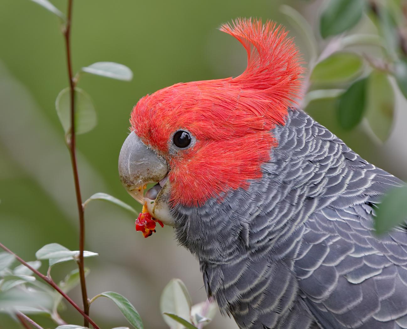 Gang-gang Cockatoo (Image ID 31813)