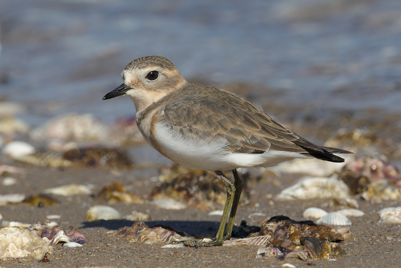 Double-banded Plover (Image ID 32045)