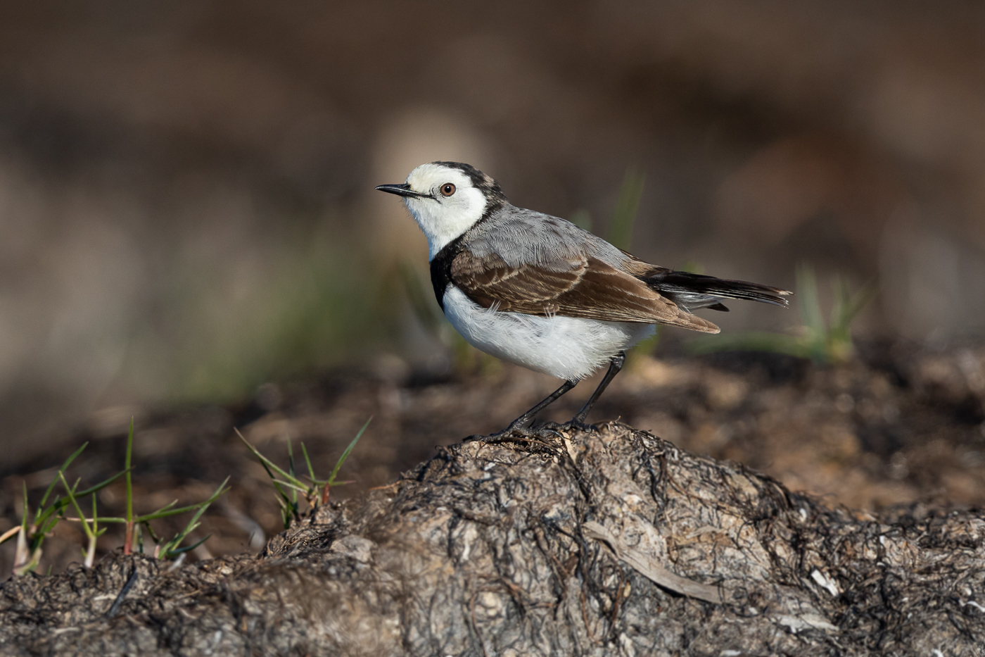 White-fronted Chat (Image ID 31784)