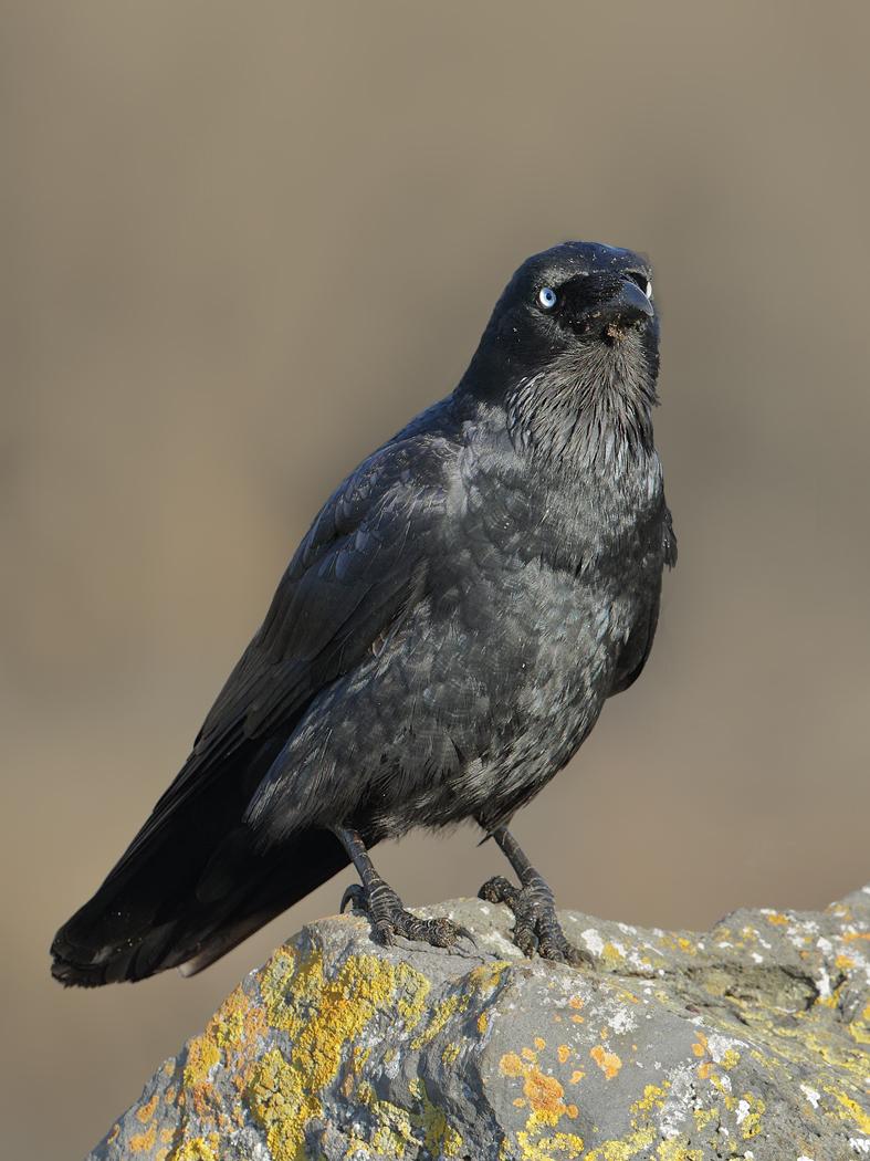 Little Raven (Image ID 31967)