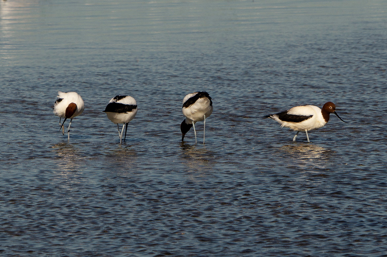 Red-necked Avocet (Image ID 31976)